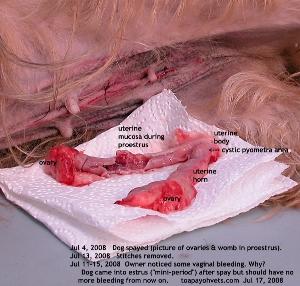 Proestrus uterus. Lhasa Apso 9 years. Toa Payoh Vets