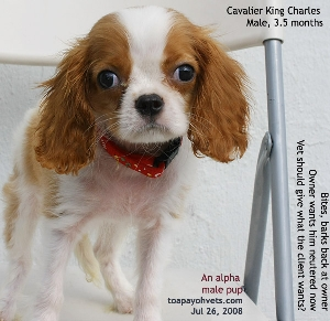 Cavalier King Charles. Alpha Male. Biting the hand that feeds you? Toa Payoh Vets