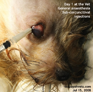Subconjunctival injections. Eye ulcer. Toa Payoh Vets.