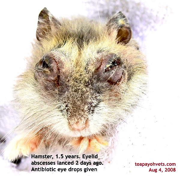 Hamster Eye Infection Eye Drops