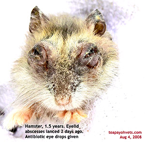 Hamster eyelid abscesses lanced 2 days ago. Toa Payoh Vets.