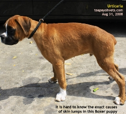 Singapore. Boxer puppy imported from Australia. Urticaria. Toa Payoh Vets