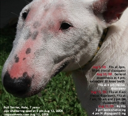 Miniature Bull Terrier.Male, 7 years. Epilepsy. Toa Payoh Vets