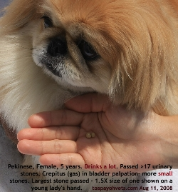 Pekinese, female, 5 years. Several small bladder stones passed out (crepitus in bladder). Toa Payoh Vets
