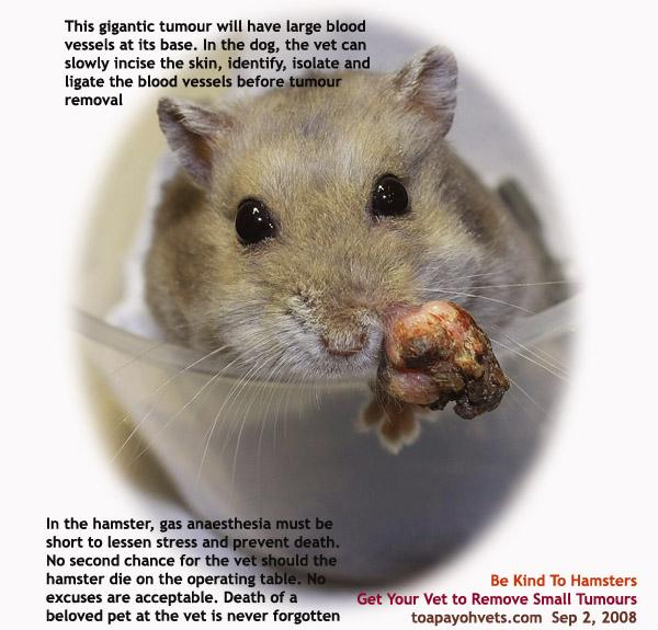 hamster roborovski entretien