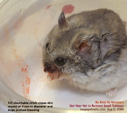 Singapore Dwarf Hamster - gigantic facial tumour removed. Toa Payoh Vets