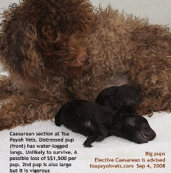 Poodle, dystocia, 62nd day. 1 distressed pup may die soon. Singapore. Toa Payoh Vets