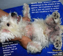 skin disease in westies can be hereditary. toa payoh vets, singapore