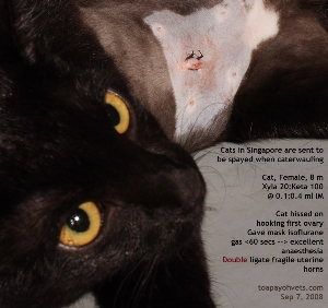 When cats caterwaul, owners send them for spaying. Not ideal situation. Fragile uterus. Toa Payoh Vets