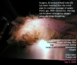 Dogs over 5 years old. High anaesthetic risk. Intubation for emergency oxygen. Toa Payoh Vets