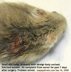 Singapore Dwarf hamster. Irritating skin wound for one month removed. Stitched 5/0 absorbable sutures. Toa Payoh Vets.