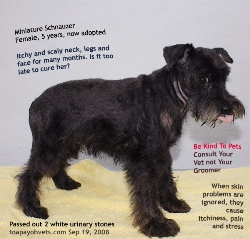 Black Miniature Schnauzer, 5 years, Female. Neck, forelegs, ears and face scaly and itchy. Toa Payoh Vets