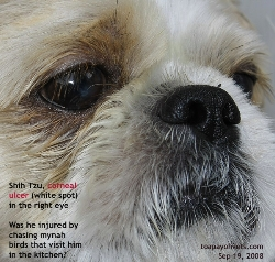 Shih Tzus are more prone to suffering from corneal ulceration. Toa Payoh Vets