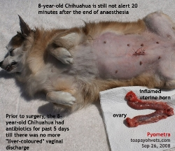 Pyometra, fever, heart disease & old dog. Spayed but slow recovery. Toa Payoh Vets.