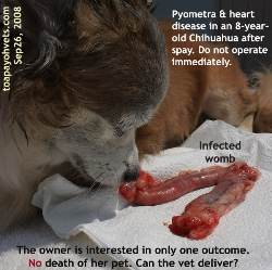 Pyometra, fever, heart disease & old dog. Very High Anaesthestic Risk. Toa Payoh Vets.