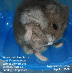 Older Dwarf Hamster. 1.5years. Check belly daily for small tumours. Toa Payoh Vets