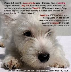 Young working couple paper-training Westie success around 6 weeks. Toa Payoh Vets