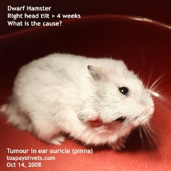 Head tilt in older hamsters may be due to tumours. Examine closely. Toa Payoh Vets.