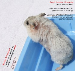 Dwarf Hamster. Singapore.  Massive subcutaneous tumour excised. Continuous suture. Toa Payoh Vets