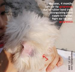 Maltese, 4 months. Ear gangrene. Rubber band strangulation.  Ears cropped. Toa Payoh Vets.