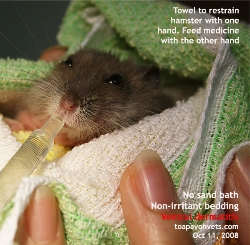 Hamster.Itchiness and pain. Ventral dermatitis, giving medicine. Singapore. Toa Payoh Vets