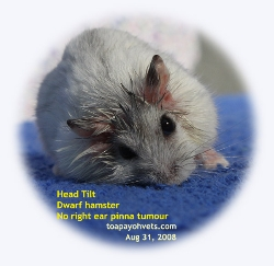 Dwarf hamster. Head tilt. Aug 31, 2008. No obvious ear pinna tumour. Toa Payoh Vets