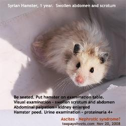 Ascites, Syrian Hamster, Male, 1 year, Singapore. Toa Payoh Vets