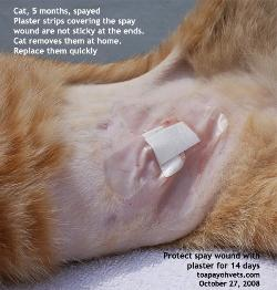 Singapore 5-month-old cat spayed. Toa Payoh Vets