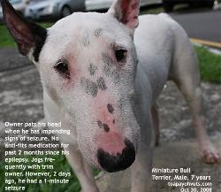 Fit 7-year-old jogging companion. Bull Terrier had around 1-minute seizures. Toa Payoh Vets