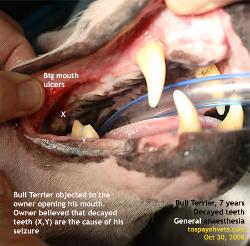 Painful mouth ulcers, Bull Terrier, 7 years - a cause of epilepsy? Toa Payoh Vets