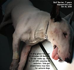 Tongue was slightly cyanotic. IV drip given till the weak Bull Terrier wakes up. Toa Payoh Vets.
