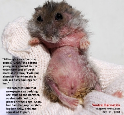 Hamster.Itchiness and pain. Ventral dermatitis, 4 weeks. Singapore. Toa Payoh Vets