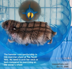 Hamster.Itchiness and pain. Ventral dermatitis, exercise wheel OK Singapore. Toa Payoh Vets