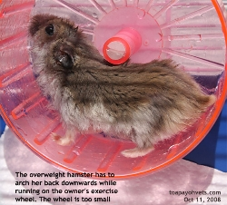 Hamster loves exercise and sunflower seeds too. Overweight. Too small wheel. Singapore. Toa Payoh Vets