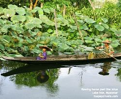 Myanmar, Lake Inle, Lotus flowers. Mum and daughter row home. Asiahomes.com
