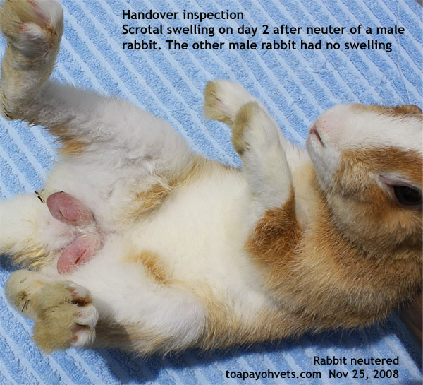 male or female rabbit how to tell