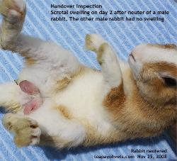 Day 2 after neuter. Vigorous licking post neuter by male rabbit. Swollen scrotum. Toa Payoh Vets