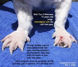 Interdigital cysts. Shih Tzu X. Left fore paw. Toa Payoh Vets