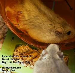 Bite wound. Two dwarf hamsters living together. Toa Payoh Vets