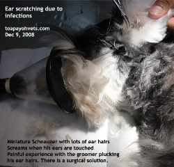 Ear hairs obstruction of ear canal. Infections lead to ear scratching and pain. Toa Payoh Vets