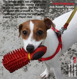 Jack Russell. Female. 1.5 years old. False pregnancy. Must carry toy to see the vet.  Toa Payoh Vets