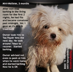Hypoglycaemic fits and coma in mini-Maltese barking 2 nights, 3 days and not eating. Toa Payoh Vets