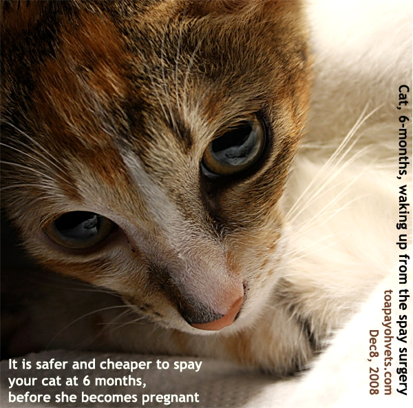 speech spay your cat Why spay and neuter cats can get pregnant as early as five months old for more questions about when to have your animal spayed or neutered.