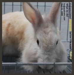 Rabbit. Abscesses/Tumours? Toa Payoh Vets