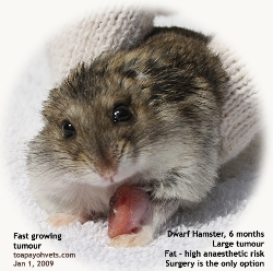 Dwarf hamster, male, 6 months. Large foreleg tumour. Singapore. Toa Payoh Vets