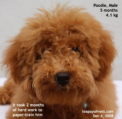 Successful paper-training poodle. Young lady and parents. Toa Payoh Vets