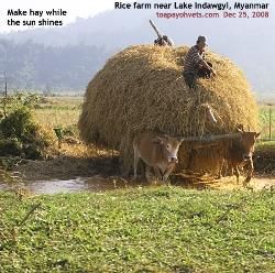 North Myanmar, Rice farms near Lake Indawgyi. Dry season. Toa Payoh Vets