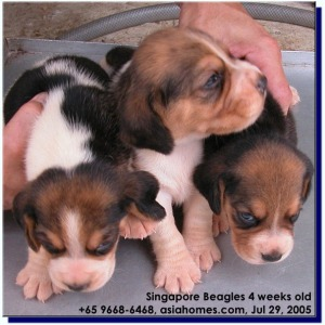 Beagles born in Singapore. Asiahomes Internet Advert for breeders/pet shops