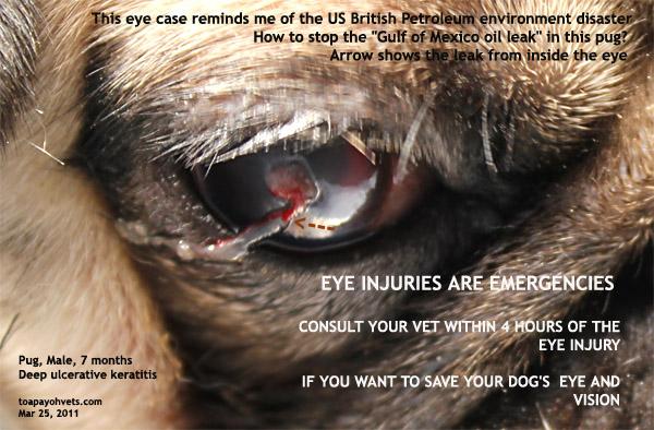 Dog Eye Ulcer After Surgery