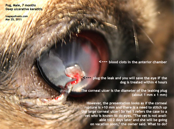 How Is A Perforated Ulcer Treated In A Dog